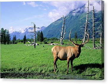Elk Bull Standing In A Grass Meadow Canvas Print by Angel Wynn