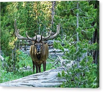 Elk Eyes Canvas Print