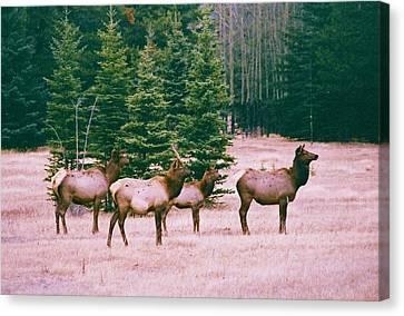 Elk In Canada Canvas Print by Richard Jenkins