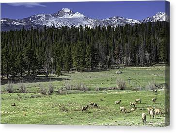 Elk In Meadow Canvas Print by Tom Wilbert