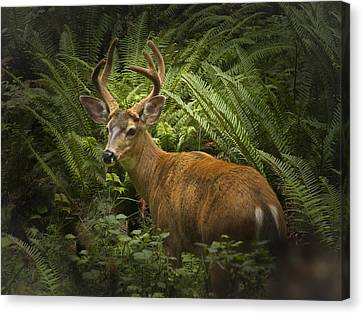 Black Tailed Deer In The Olympic National Forest Canvas Print by Jean Noren