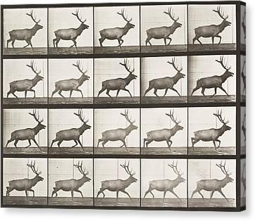 Elk Trotting  Canvas Print by Celestial Images