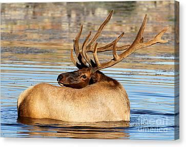 Elk Velveteen  Canvas Print