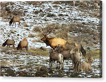 Elk With Big Horn Sheep, Oak Creek Canvas Print by Tom Norring