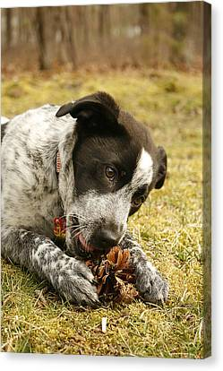 Ellie Vs. The Pine Cone Canvas Print by Kristia Adams