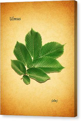 Elm Canvas Print by Mark Rogan