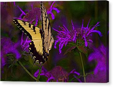 Elusive Butterfly Of Love Canvas Print by Mamie Thornbrue
