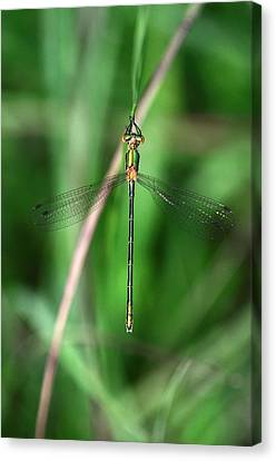 Emerald Damselfly Canvas Print
