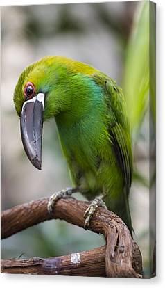 Emerald Toucanet Canvas Print by Phil Abrams