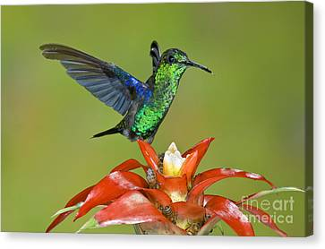 Bromeliad Canvas Print - Emerald Woodnymph Male by Anthony Mercieca