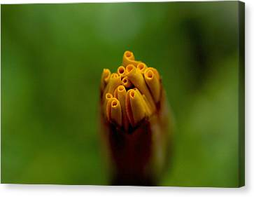 Emerging Bud - Yellow Flower Canvas Print
