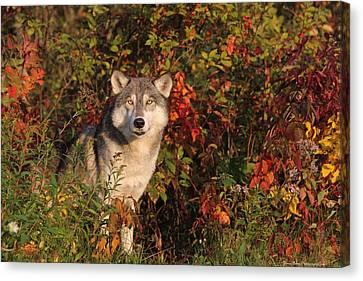Emerging Wolf Canvas Print