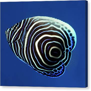 Emperor Angelfish Canvas Print