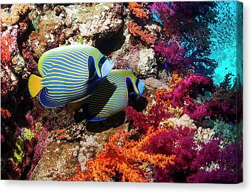 Emperor Angelfish On A Reef Canvas Print by Georgette Douwma