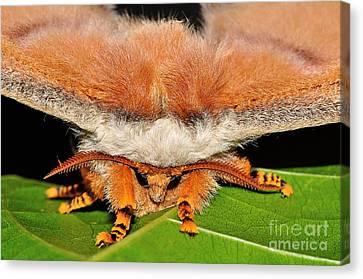 Emperor Gum Moth Canvas Print by Kaye Menner