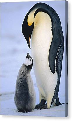 Emperor Penguin Adult With Chick Canvas Print