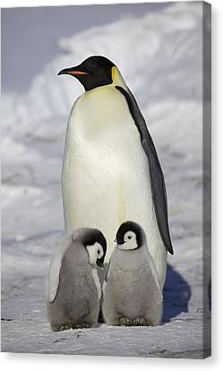 Emperor Penguin And Two Chicks Canvas Print