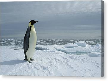 Emperor Penguin On Fast Ice Edge Canvas Print