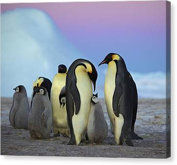 Emperor Penguin Parents And Chick Canvas Print