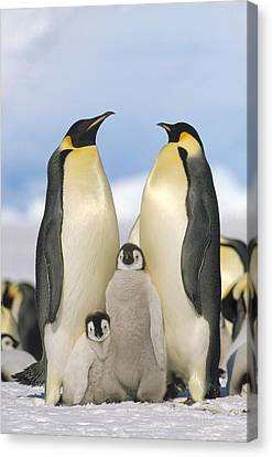 Emperor Penguin Parents With Chicks Canvas Print