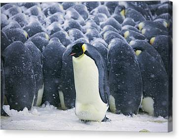 Emperor Penguin Trying To Get Canvas Print