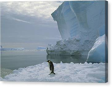 Emperor Penguin Walking Weddell Sea Canvas Print
