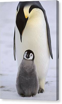 Emperor Penguin With Chick Antarctica Canvas Print