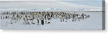 Emperor Penguins Aptenodytes Forsteri Canvas Print by Panoramic Images