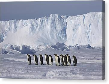 Emperor Penguins Walking Antarctica Canvas Print by Frederique Olivier