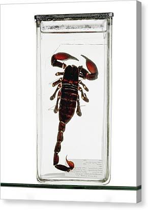 Emperor Scorpion Specimen Canvas Print