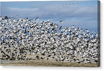 En Masse Canvas Print by Loree Johnson