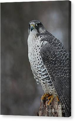 Enchanted By The Rare Gyrfalcon Canvas Print