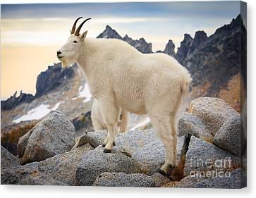 Alpine Canvas Print - Enchantment Goat by Inge Johnsson
