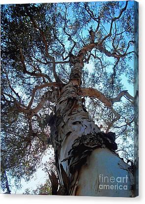 Encinitas Eucalyptus Canvas Print