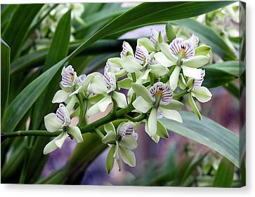 Encyclia Radiata II Canvas Print by Dirk Wiersma