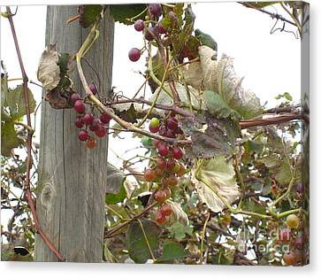 End Of Season Grapes Canvas Print by Jennifer E Doll