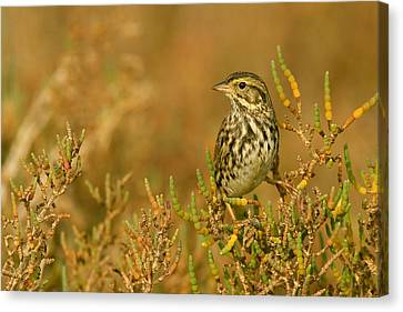 Endangered Beldings Savannah Sparrow - Huntington Beach California Canvas Print