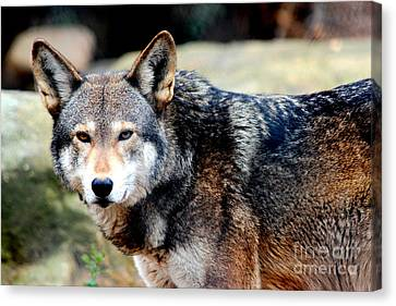 Endangered Red Wolf Canvas Print by Kathy  White