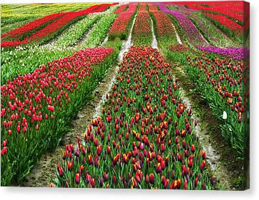 Endless Waves Of Tulips Canvas Print