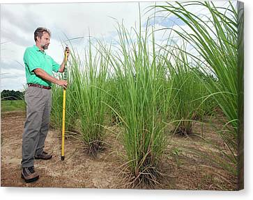 Energy Cane Biofuel Research Canvas Print by Peggy Greb/us Department Of Agriculture