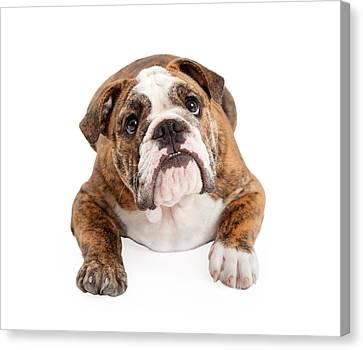 English Bulldog Laying Looking Up Canvas Print