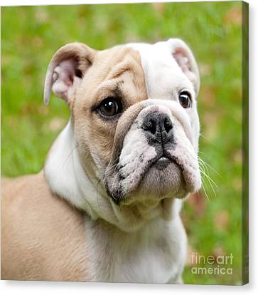 English Bulldog Puppy Canvas Print by Natalie Kinnear