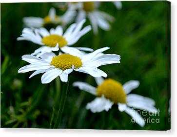 Canvas Print featuring the photograph English Daisies by Scott Lyons