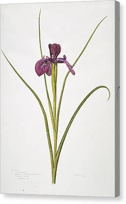 English Iris Flower, 20th Century Canvas Print