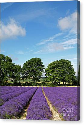 English Lavender Fields Near Selborne Hampshire Canvas Print by Alex Cassels