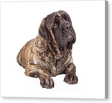 English Mastiff Dog Laying Head Tilted Canvas Print by Susan Schmitz