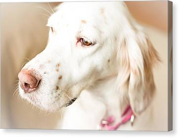 English Setter In Natural Light Canvas Print