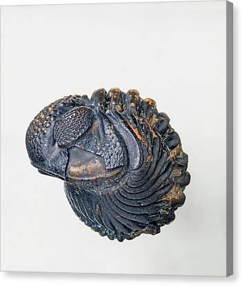 Enrolled Phacops Trilobite (phacopidae) Canvas Print by Dorling Kindersley/uig