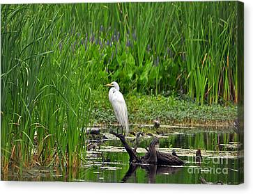 Enticing Egret Canvas Print by Al Powell Photography USA