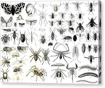 Entomology Myriapoda And Arachnida  Canvas Print by English School